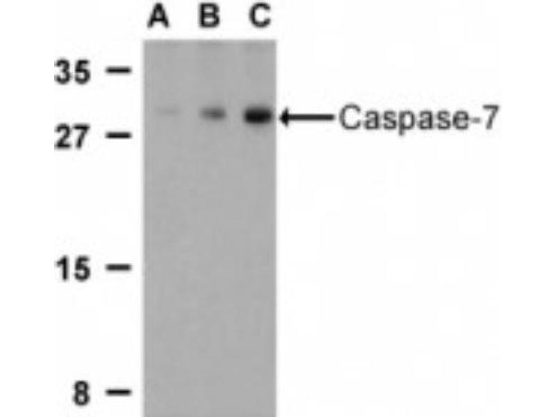 Western Blotting (WB) image for anti-Caspase 7 antibody (Caspase 7, Apoptosis-Related Cysteine Peptidase) (C-Term) (ABIN4288140)