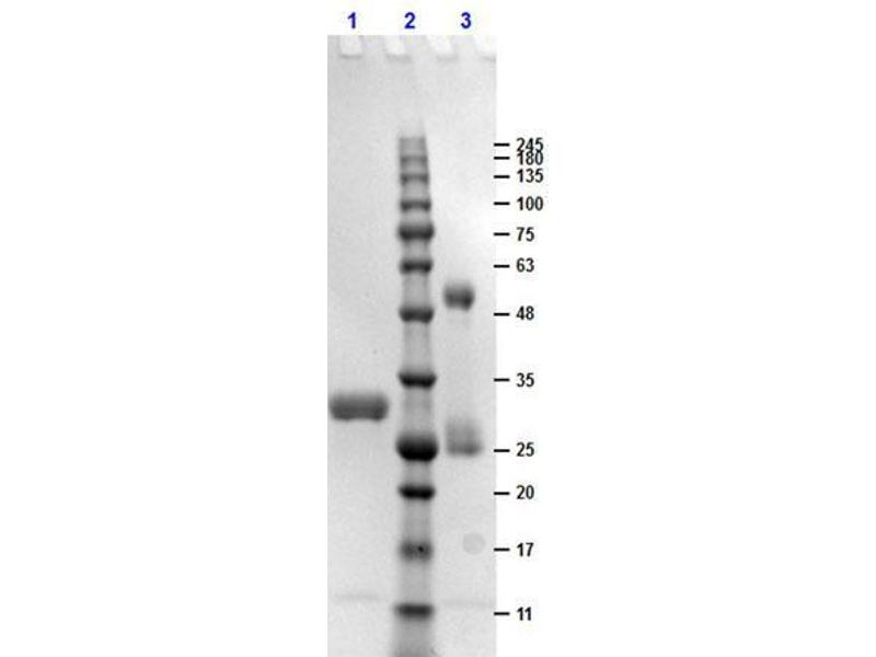 SDS-PAGE (SDS) image for Human IgG isotype control (ABIN964452)