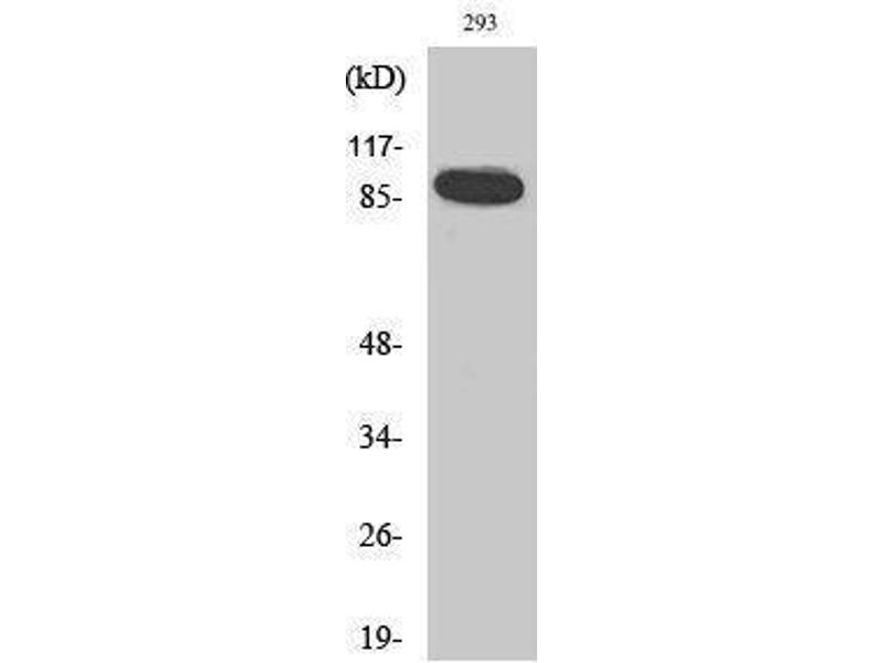 Western Blotting (WB) image for anti-Signal Transducer and Activator of Transcription 5A (STAT5A) (Internal Region) antibody (ABIN3187089)