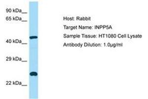 Image no. 1 for anti-Inositol Polyphosphate-5-Phosphatase, 40kDa (INPP5A) (AA 263-312) antibody (ABIN6749887)