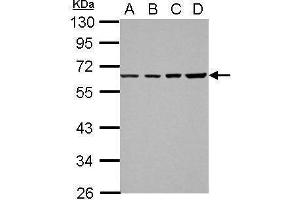 Image no. 1 for anti-Nuclear Receptor Subfamily 2, Group C, Member 1 (NR2C1) (Center) antibody (ABIN2854420)