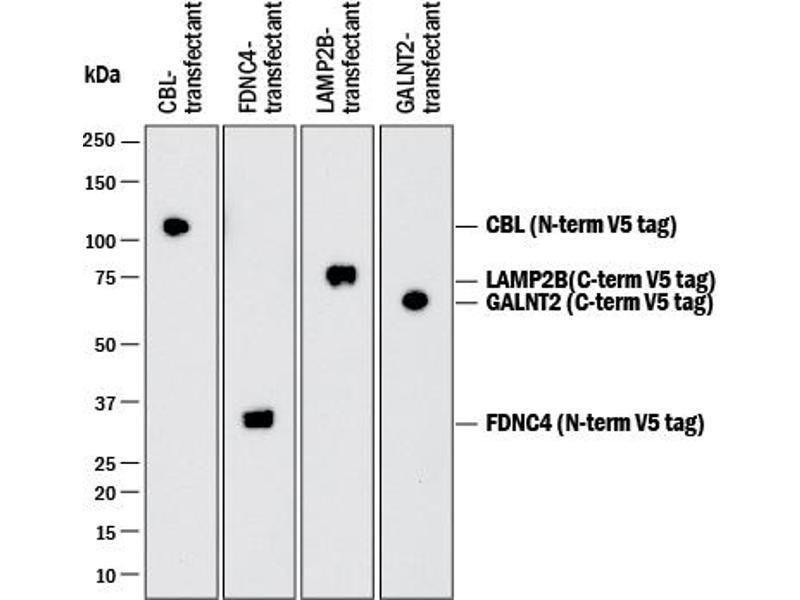 Western Blotting (WB) image for anti-V5 Epitope Tag antibody (ABIN4900880)