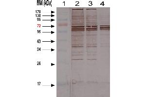 Western Blotting (WB) image for anti-Host Cell Proteins (HCP) antibody (ABIN1113181)