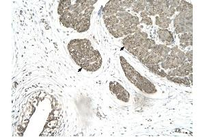 Image no. 2 for anti-Mortality Factor 4 Like 1 (MORF4L1) (Middle Region) antibody (ABIN629857)