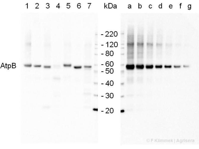 Western Blotting (WB) image for anti-ATPase, Na+/K+ Transporting, beta 1 Polypeptide (ATP1B1) (Subunit beta) antibody (ABIN5684017)