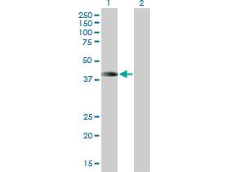 Image no. 1 for anti-Homeobox A1 (HOXA1) (AA 1-335) antibody (ABIN516595)