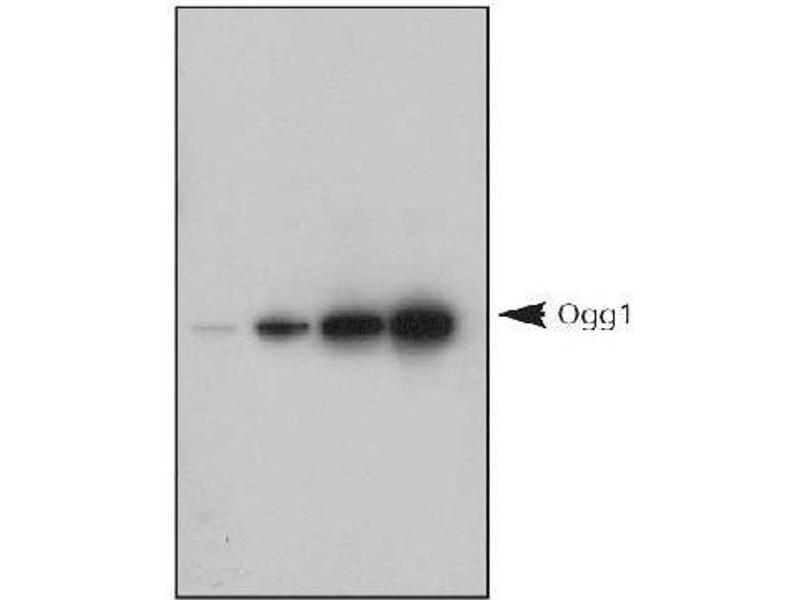Western Blotting (WB) image for anti-OGG1 antibody (8-Oxoguanine DNA Glycosylase) (AA 1-100) (ABIN249594)