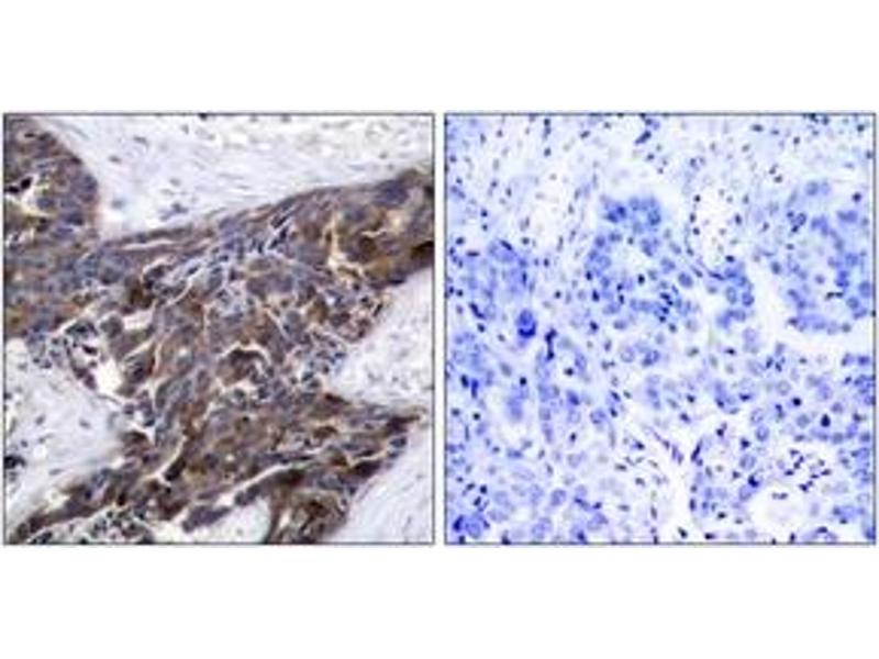Immunohistochemistry (IHC) image for anti-Gap Junction Protein, alpha 1, 43kDa (GJA1) (pSer367), (AA 332-381) antibody (ABIN1531807)