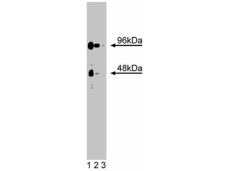 Western Blotting (WB) image for anti-CaM Kinase VI (AA 330-424) antibody (ABIN968650)