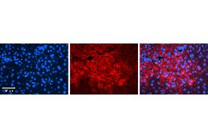 Image no. 3 for anti-Interferon Regulatory Factor 1 (IRF1) (N-Term) antibody (ABIN2780408)