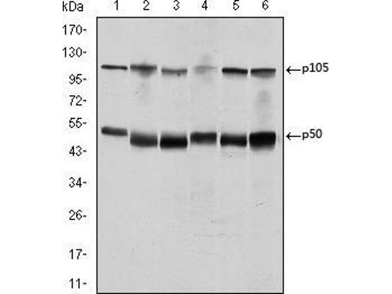 Western Blotting (WB) image for anti-NFKB1 antibody (Nuclear Factor of kappa Light Polypeptide Gene Enhancer in B-Cells 1) (ABIN969313)
