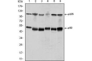 Image no. 1 for anti-Nuclear Factor of kappa Light Polypeptide Gene Enhancer in B-Cells 1 (NFKB1) antibody (ABIN969313)