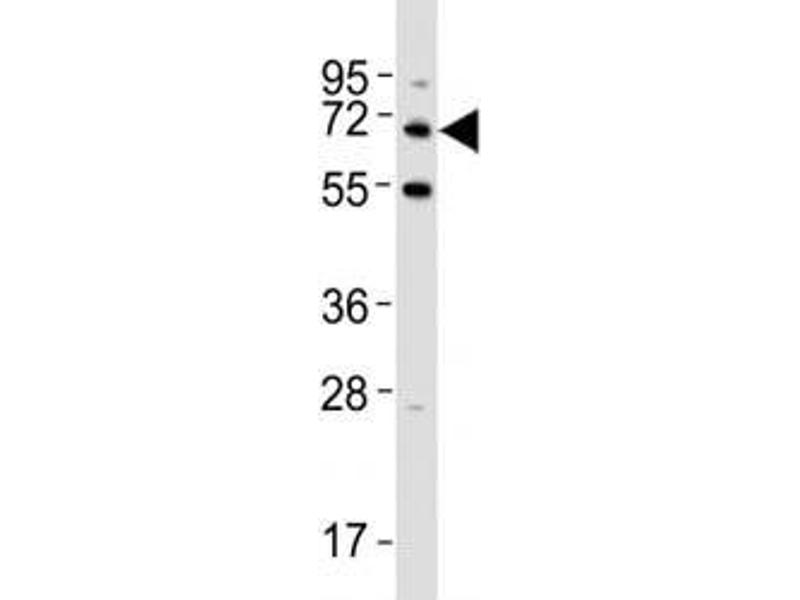 Western Blotting (WB) image for anti-KH Domain Containing, RNA Binding, Signal Transduction Associated 1 (KHDRBS1) (AA 317-346) antibody (ABIN3031543)