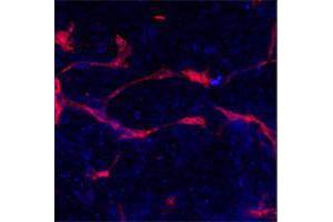 Immunofluorescence (IF) image for anti-EPH Receptor A4 (EPHA4) (AA 40-70), (N-Term) antibody (ABIN391889)