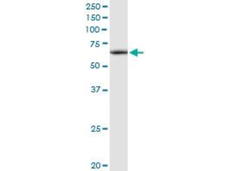 Western Blotting (WB) image for anti-ATPase Family, AAA Domain Containing 3A (ATAD3A) (AA 1-586), (full length) antibody (ABIN950090)