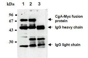 Western Blotting (WB) image for anti-Myc Tag antibody (Agarose Beads) (ABIN2853622)