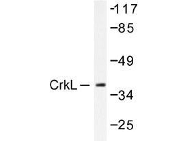 Western Blotting (WB) image for anti-V-Crk Sarcoma Virus CT10 Oncogene Homolog (Avian)-Like (CRKL) antibody (ABIN498177)