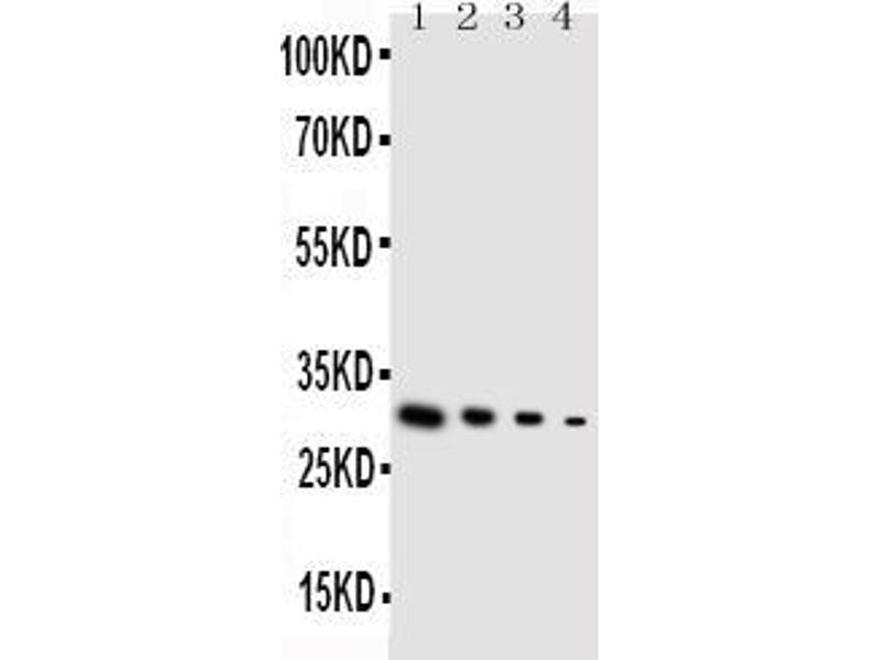 Western Blotting (WB) image for anti-Glial Cell Line Derived Neurotrophic Factor (GDNF) (AA 142-158), (Middle Region) antibody (ABIN3044406)