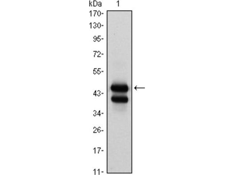 Western Blotting (WB) image for anti-GATA Binding Protein 1 (Globin Transcription Factor 1) (GATA1) antibody (ABIN1843546)