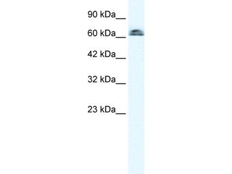 Image no. 1 for anti-Influenza Virus NS1A Binding Protein (IVNS1ABP) (N-Term) antibody (ABIN2777748)
