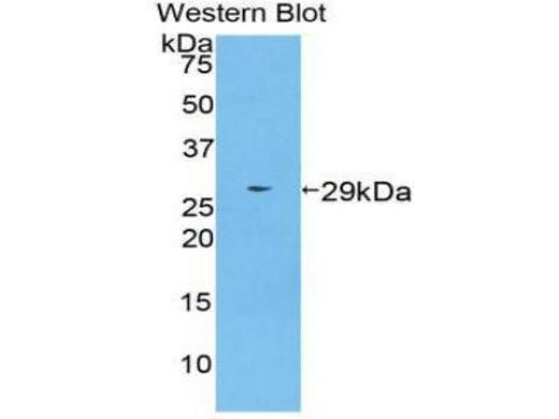 Western Blotting (WB) image for anti-Transportin 1 (TNPO1) (AA 593-836) antibody (ABIN2903664)
