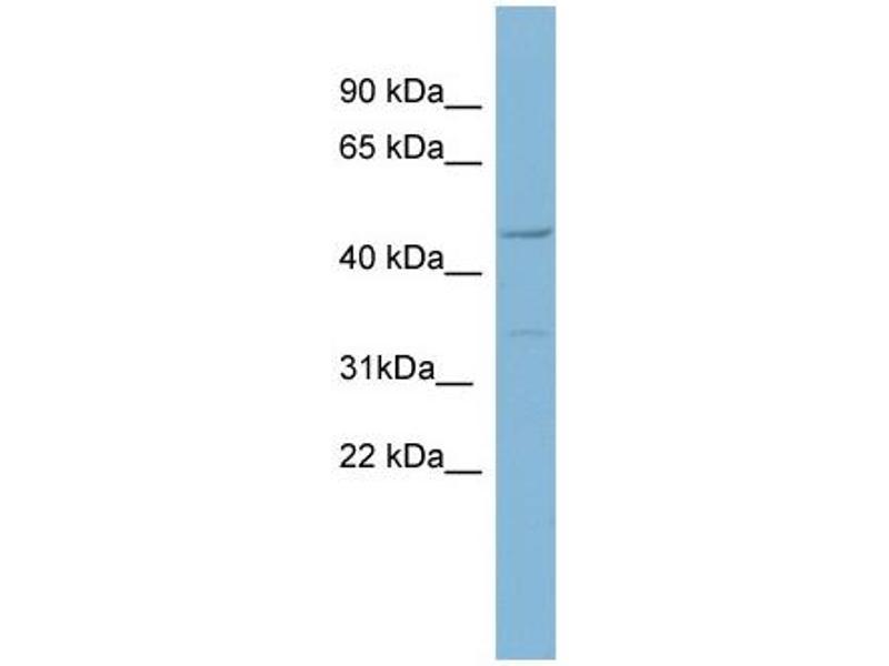 Western Blotting (WB) image for anti-Matrilin 1, Cartilage Matrix Protein (MATN1) (Middle Region) antibody (ABIN502205)