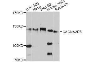 Image no. 1 for anti-Calcium Channel, Voltage-Dependent, alpha 2/delta Subunit 3 (CACNA2D3) antibody (ABIN6566870)