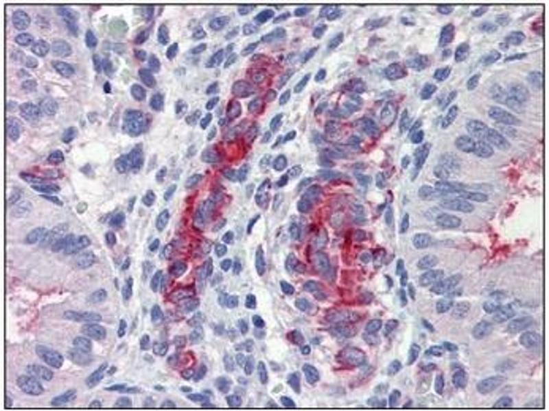 Immunohistochemistry (IHC) image for anti-Caspase 9 antibody (Caspase 9, Apoptosis-Related Cysteine Peptidase) (ABIN614358)