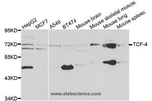 Western Blotting (WB) image for anti-TCF4 antibody (Transcription Factor 4) (ABIN2403952)