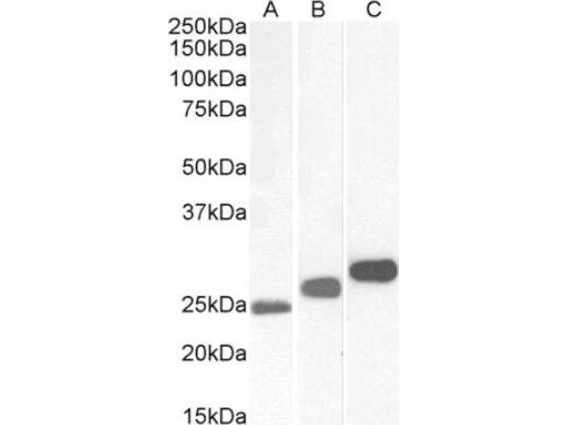 Western Blotting (WB) image for anti-AIFM1 antibody (Apoptosis-Inducing Factor, Mitochondrion-Associated, 1) (C-Term) (ABIN4278849)