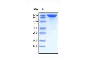 Image no. 1 for Receptor tyrosine-protein kinase erbB-2 (ErbB2/Her2) (AA 23-652) (Active) protein (Fc Tag) (ABIN2181216)