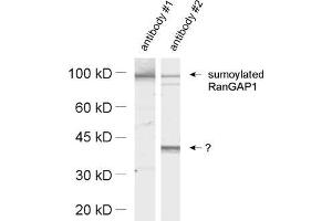 Western Blotting (WB) image for anti-SMT3 Suppressor of Mif Two 3 Homolog 1 (S. Cerevisiae) (SUMO1) (AA 2-20) antibody (ABIN1742528)