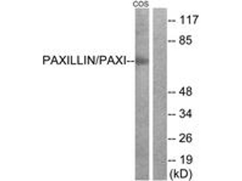 Western Blotting (WB) image for anti-Paxillin (PXN) (AA 15-64) antibody (ABIN1532979)