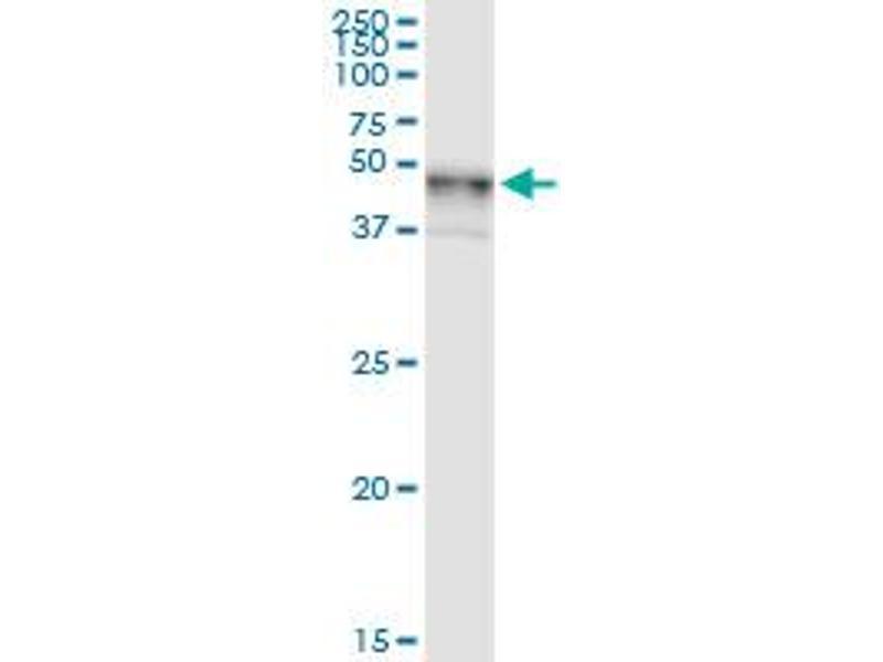 Immunoprecipitation (IP) image for anti-UDP-Gal:betaGlcNAc beta 1,4- Galactosyltransferase, Polypeptide 3 (B4GALT3) (AA 1-393), (full length) antibody (ABIN948724)
