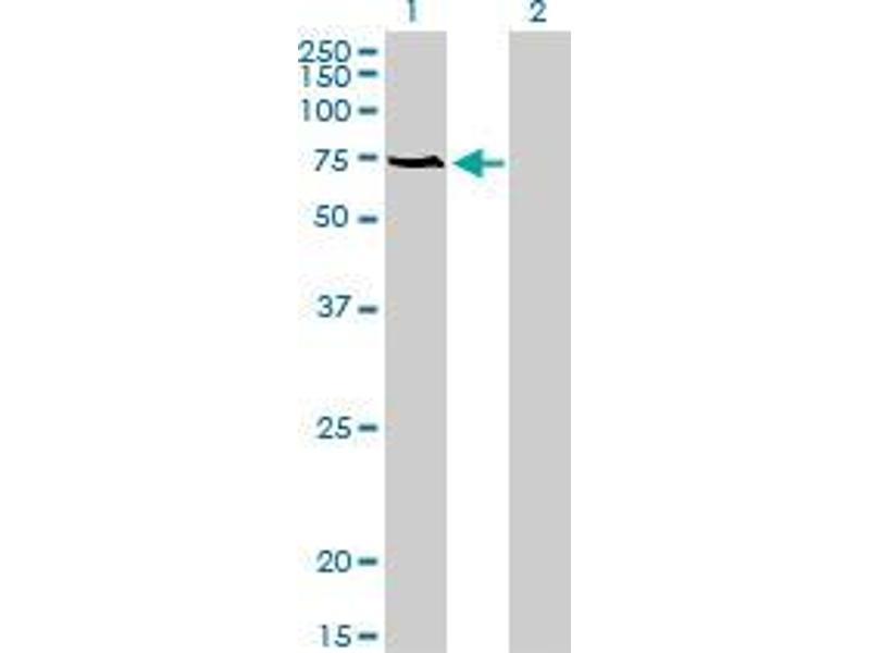 Immunohistochemistry (IHC) image for anti-Acyl-CoA Binding Domain Containing 3 (Acbd3) (AA 73-172) antibody (ABIN395659)