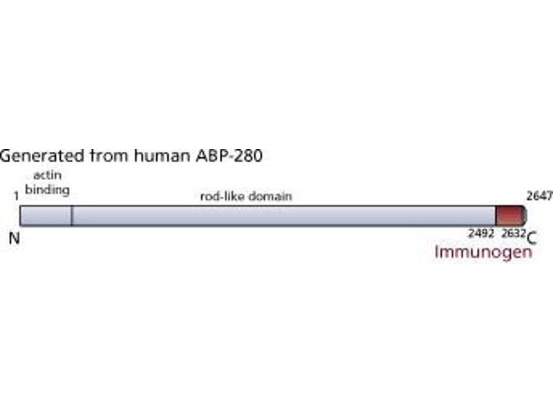 image for anti-FLNC antibody (Filamin C, gamma) (AA 2492-2647) (ABIN968182)