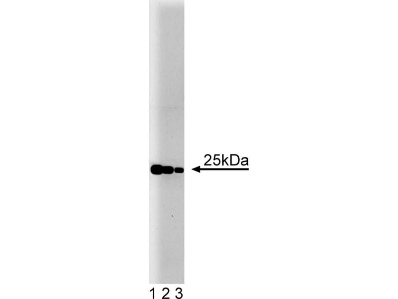 Western Blotting (WB) image for anti-RAB4A, Member RAS Oncogene Family (RAB4A) (AA 97-213) antibody (ABIN968233)