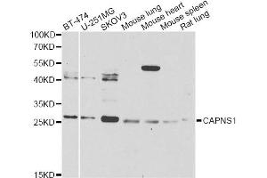 Image no. 1 for anti-Calpain, Small Subunit 1 (CAPNS1) antibody (ABIN6570505)