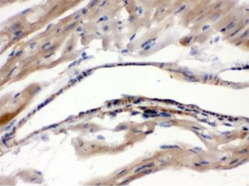 Image no. 2 for anti-Monoamine Oxidase A (MAOA) antibody (ABIN4951664)