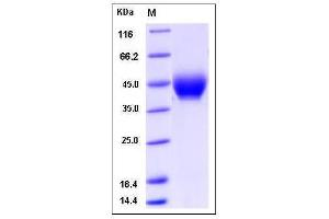 image for Neuregulin 1 (NRG1) (AA 20-241), (Extracellular Domain) (Active) protein (His tag,ECD) (ABIN2005743)