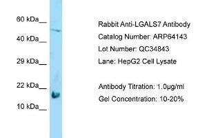 Image no. 1 for anti-Lectin, Galactoside-Binding, Soluble, 7 (LGALS7) (Middle Region) antibody (ABIN2789744)