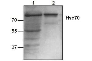 Western Blotting (WB) image for anti-HSP70 antibody (Heat Shock Protein 70) (ABIN222930)