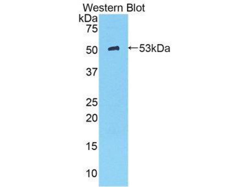 Western Blotting (WB) image for anti-Kallikrein 8 (KLK8) (AA 34-260) antibody (ABIN1859560)