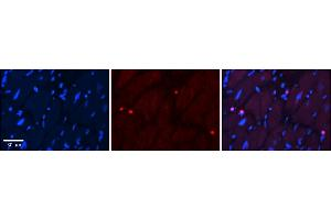 Image no. 1 for anti-Peroxisome Proliferator-Activated Receptor alpha (PPARA) (C-Term) antibody (ABIN2778248)