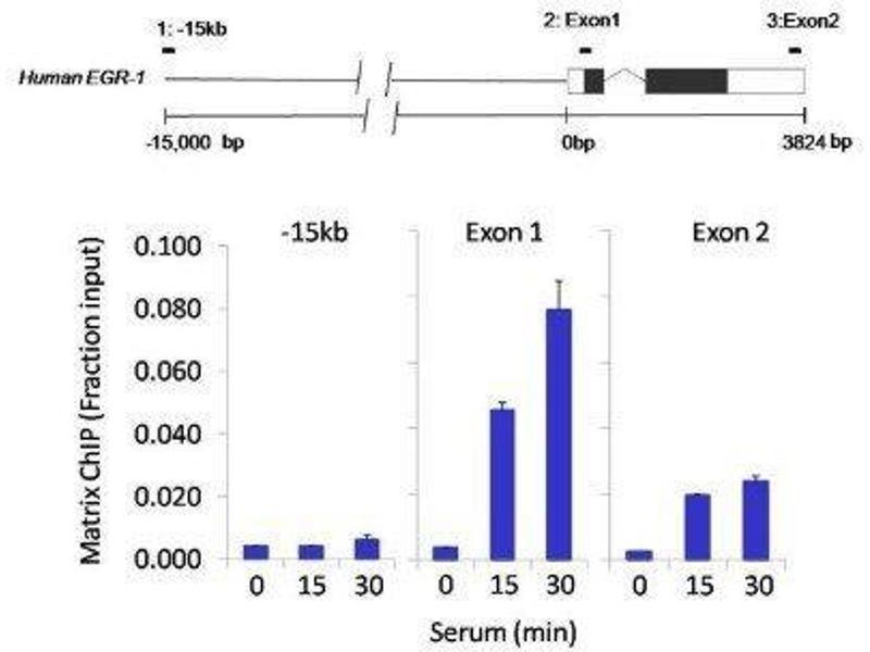 Immunoprecipitation (IP) image for anti-cAMP Responsive Element Binding Protein 1 (CREB1) antibody (ABIN4300445)