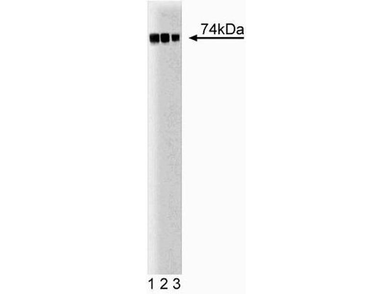 Western Blotting (WB) image for anti-C-Raf-1 (AA 162-378) antibody (ABIN967782)