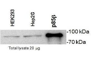 Image no. 1 for anti-Phosphoinositide 3 Kinase, p85 beta (PI3K p85b) (Subunit beta) antibody (ABIN2476135)
