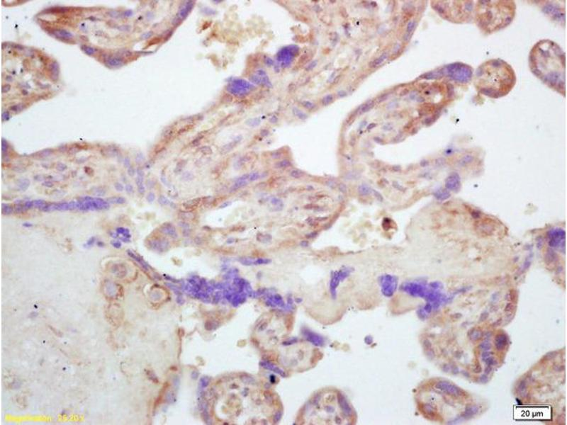 Immunohistochemistry (IHC) image for anti-Nucleotide-Binding Oligomerization Domain Containing 1 (NOD1) (AA 64-105) antibody (ABIN872332)