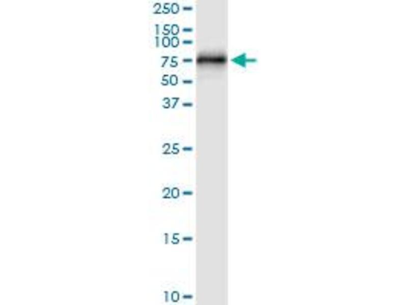 Immunoprecipitation (IP) image for anti-Centrosomal Protein 57kDa (CEP57) (AA 1-500), (full length) antibody (ABIN948841)