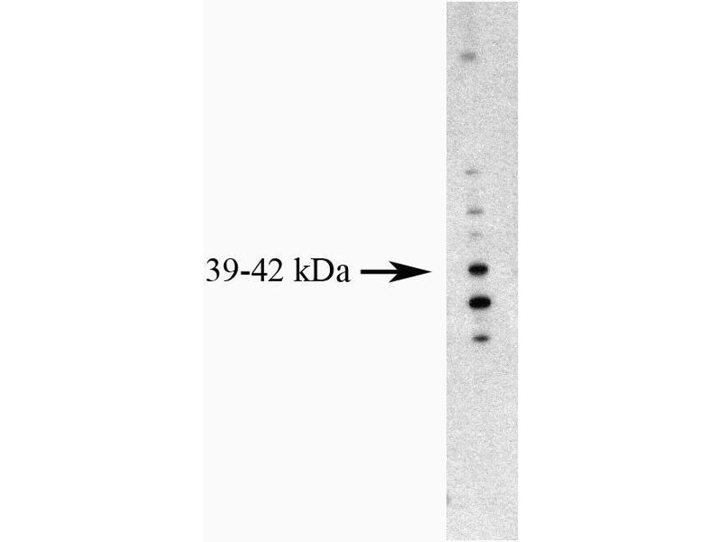 image for anti-MCL-1 antibody (Induced Myeloid Leukemia Cell Differentiation Protein Mcl-1) (AA 121-139) (ABIN967399)